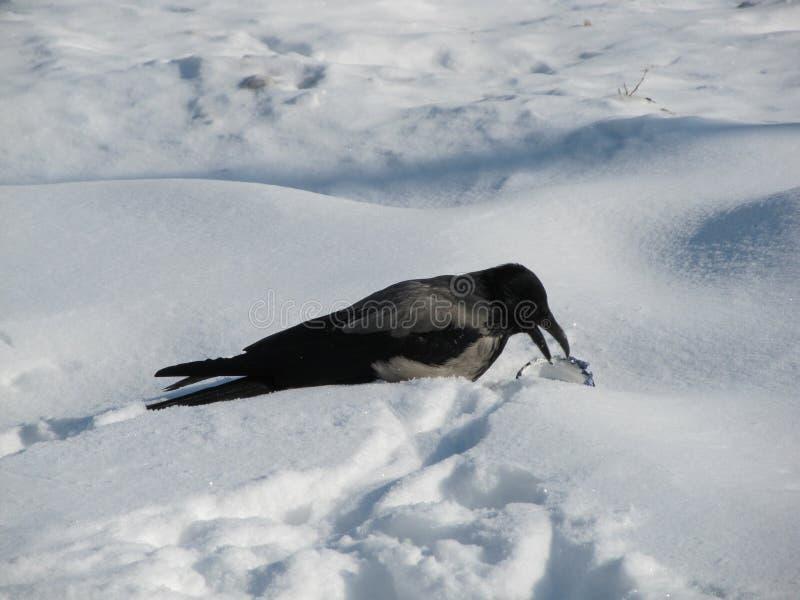 Une corneille dans la neige et alimentation sur des déchets alimentaires photographie stock libre de droits