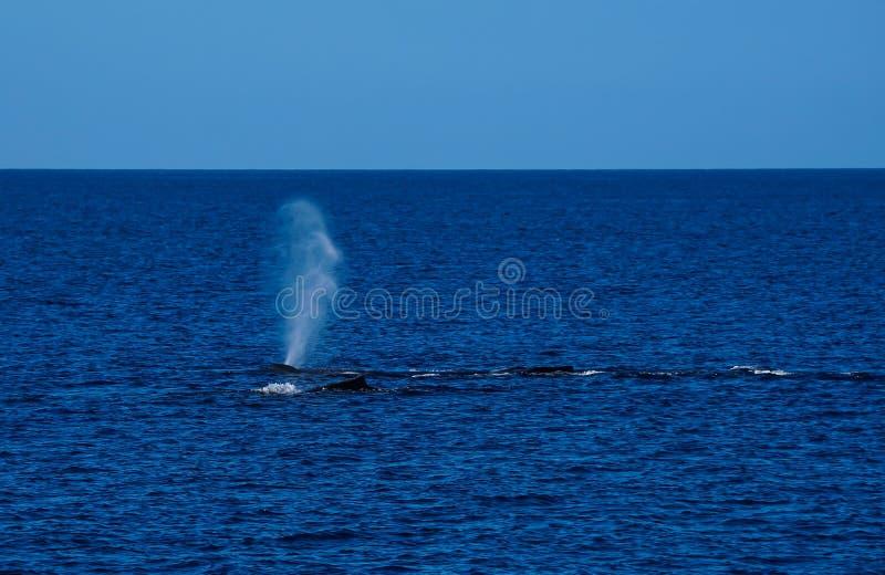 Une cosse de la natation de baleines photographie stock libre de droits