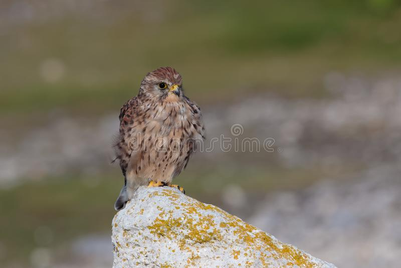 Une crécerelle commune, tinunculus de Falco, femelle adulte était perché image libre de droits