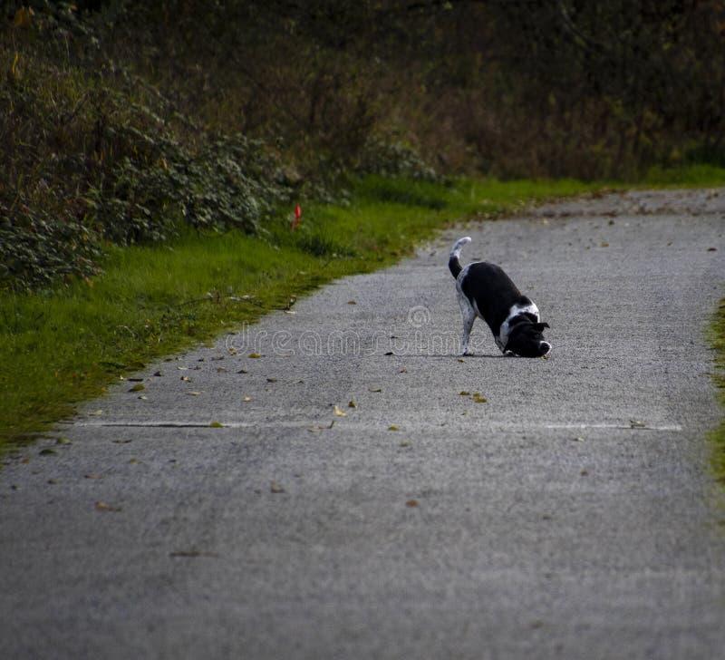 Une croix noire et blanche de pitbull photos libres de droits