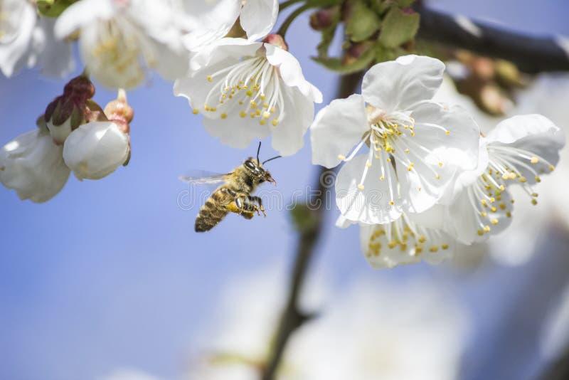 Une digne abeille rassemble le pollen image libre de droits