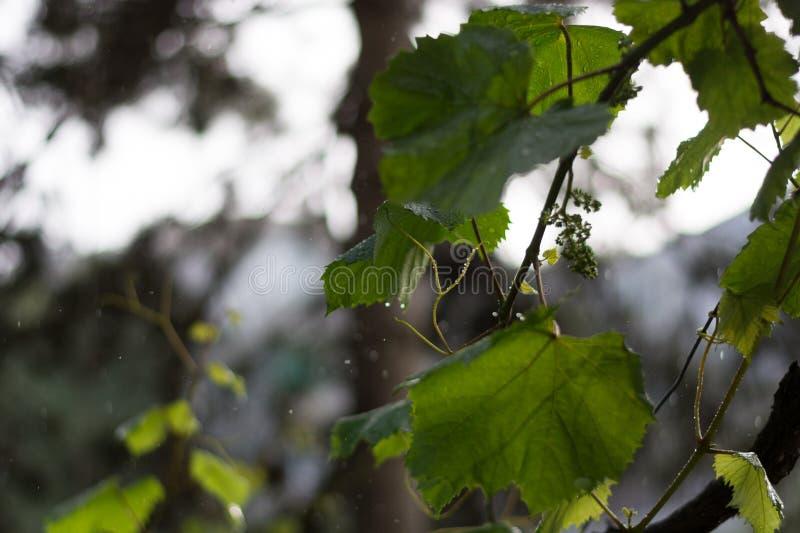 Une douche de pluie en retard de ressort tombe sur des vignes photos stock