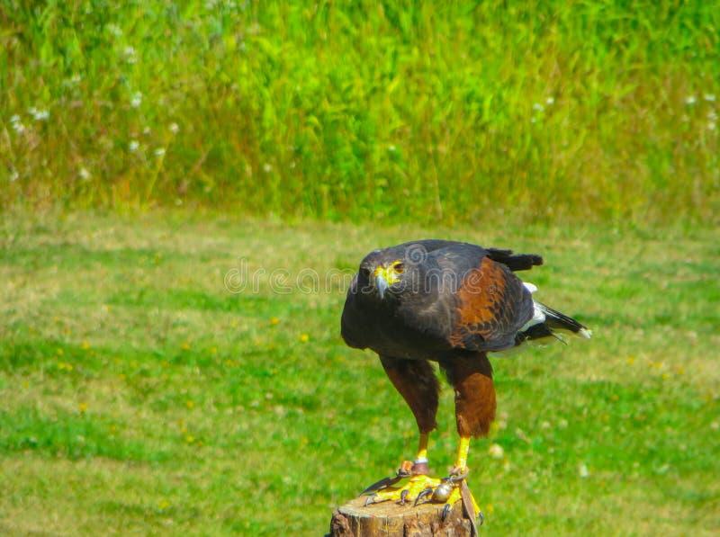Une exposition des oiseaux de la proie en parc national pr?s de Vancouver images stock