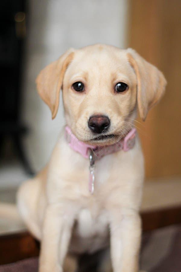 Une expression mignonne sur le chiot d'or de Labrador images stock