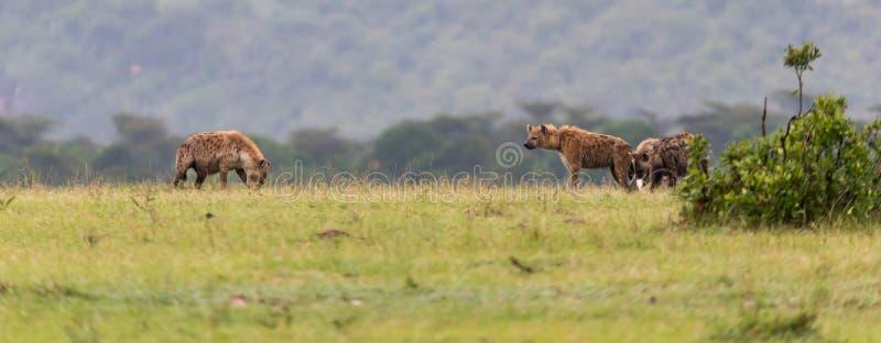Une famille d'hyène se cache dans l'herbe grande image stock