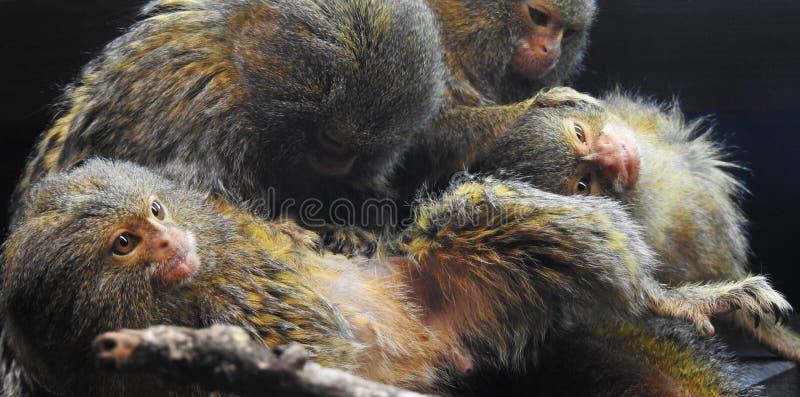 Une famille de quatre singes d'ouistiti toilettant un un autre image stock