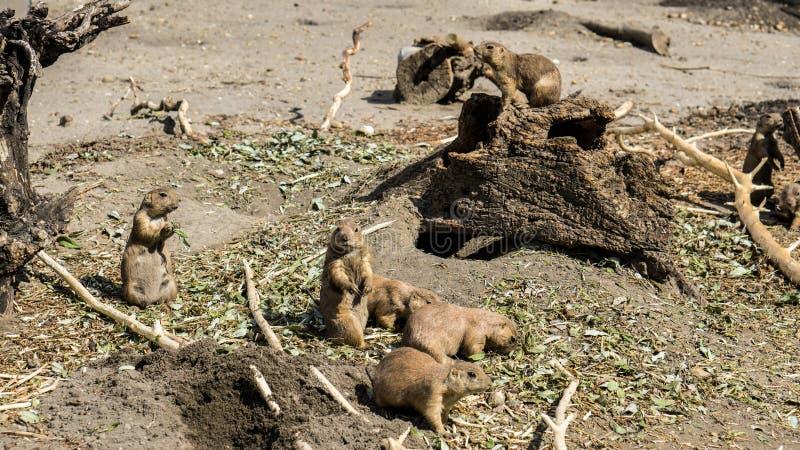 Une famille des chiens de prairie prenant soin des entreprises quotidiennes images libres de droits