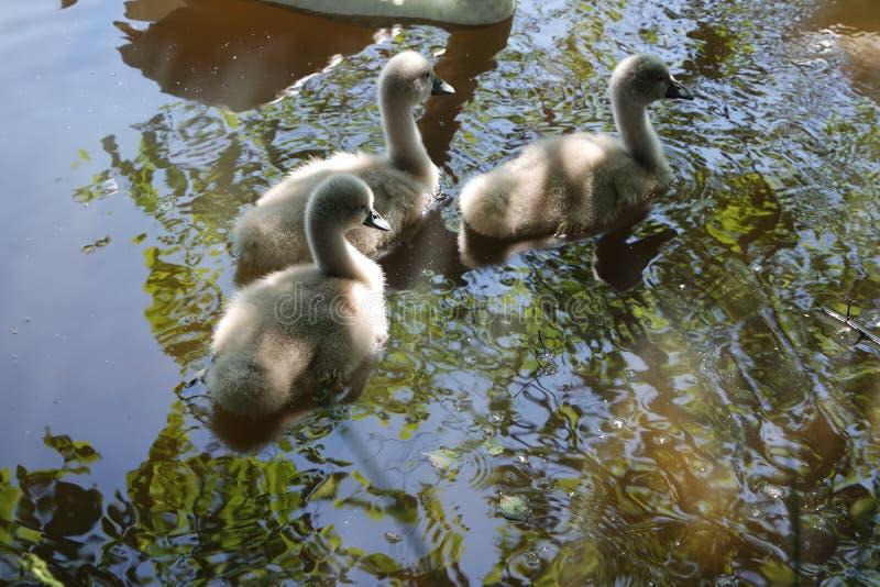 Une famille des cygnes avec des jeunes photos stock