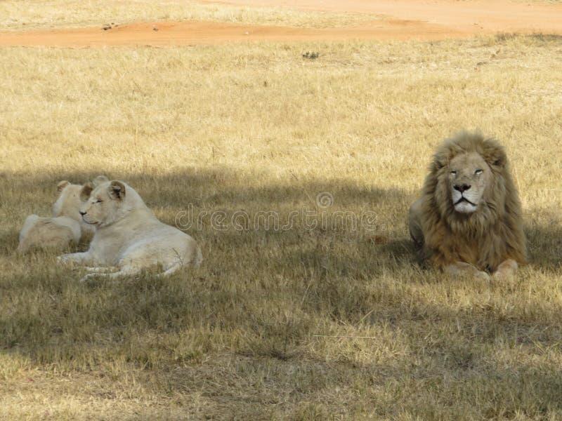 Une famille des lionphoto libre de droits