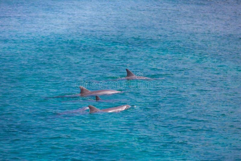 Une famille repérée de dauphin sautant hors des Maldives bleues claires arrosent Espèce marine en Maldives images stock