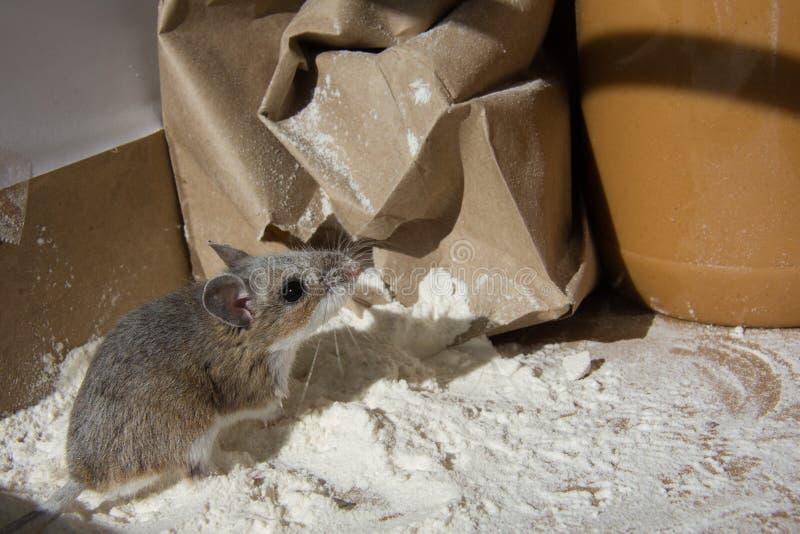 Une farine a encroûté la souris de maison regardant un pot de beurre d'arachide dans un buffet photos stock