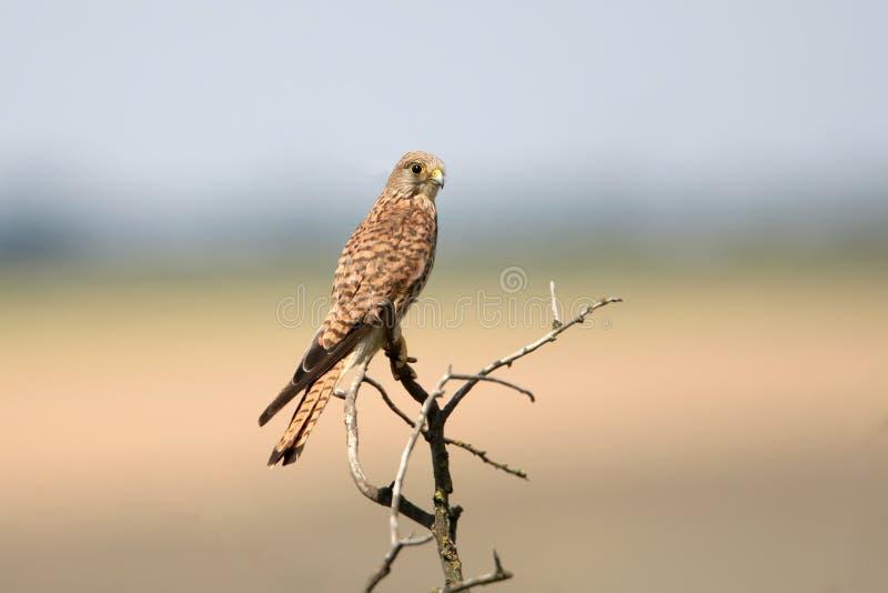 Une femelle commune de crécerelle s'assied sur un petit arbre photos stock