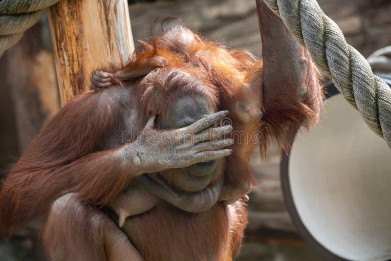 Une femelle de l'orang-outan avec un petit animal dans un habitat indig?ne Wurmmbii de pygmaeus du Pongo o d'orang-outan de Borne images libres de droits