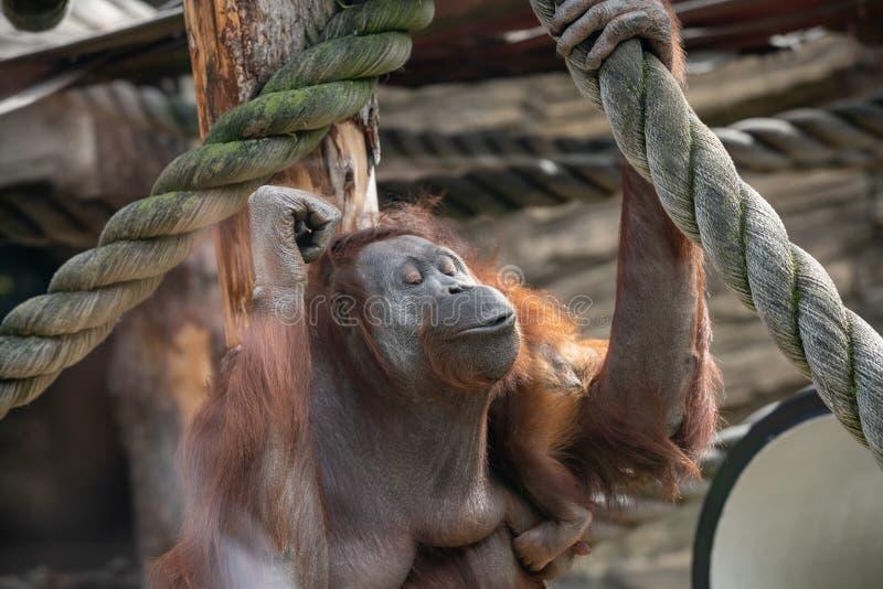 Une femelle de l'orang-outan avec un petit animal dans un habitat indig?ne Wurmmbii de pygmaeus du Pongo o d'orang-outan de Borne image stock