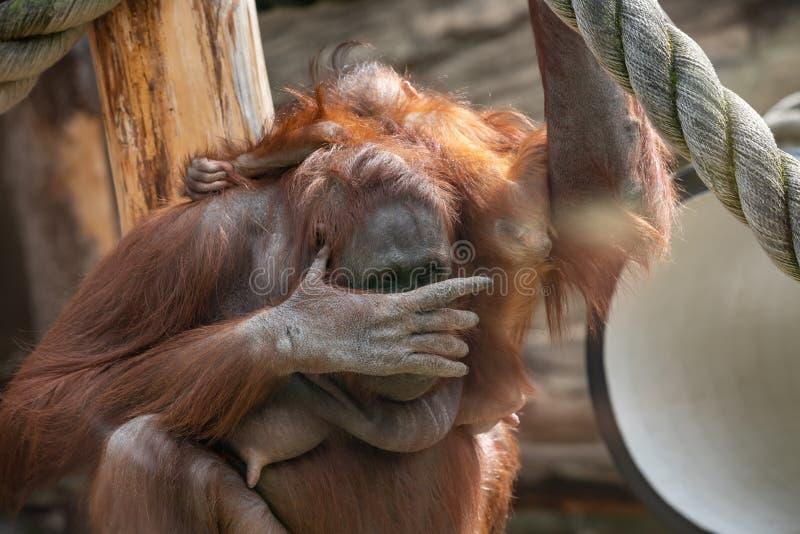 Une femelle de l'orang-outan avec un petit animal dans un habitat indig?ne Wurmmbii de pygmaeus du Pongo o d'orang-outan de Borne photographie stock libre de droits