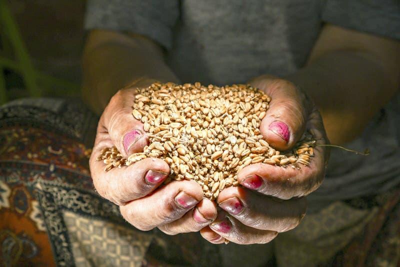Une femme agée tient le blé dans des ses mains photo stock