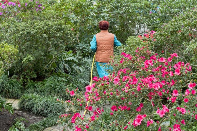 Une femme agée verse des fleurs dans le jardin avec un tuyau images libres de droits