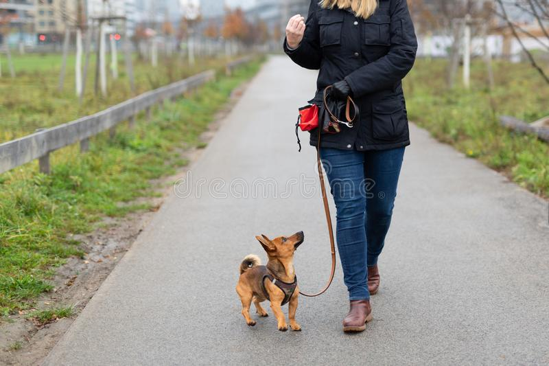 """Une femme et son petit chien pratiquent la """"marche à gîter """"en parc photo stock"""