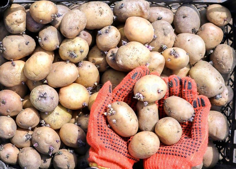 Une femme habillée dans des gants de travail tient des pommes de terre photo libre de droits