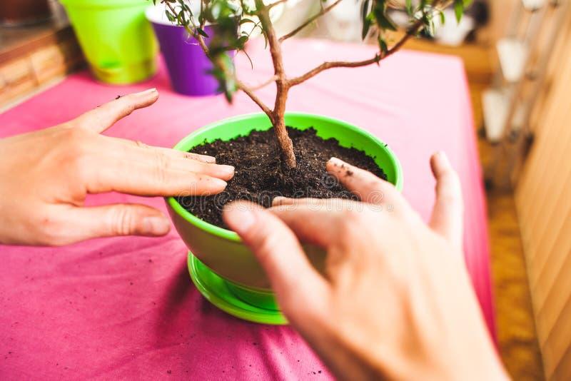 Une femme plante une plante d'intérieur dans un pot Vue supérieure de jeune arbre de bonsaïs Reconversion des plantations d'une f images libres de droits