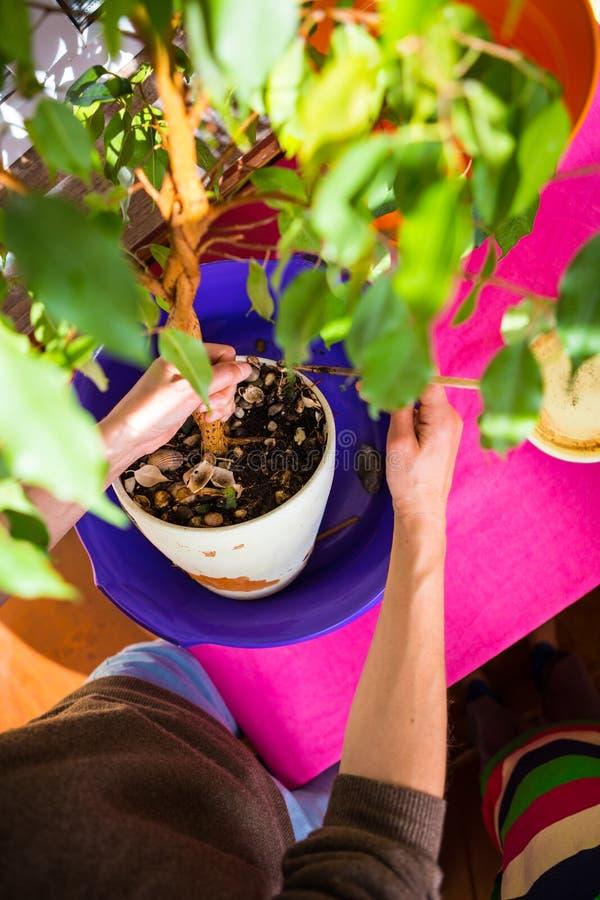 Une femme plante une plante d'int?rieur dans un pot photographie stock