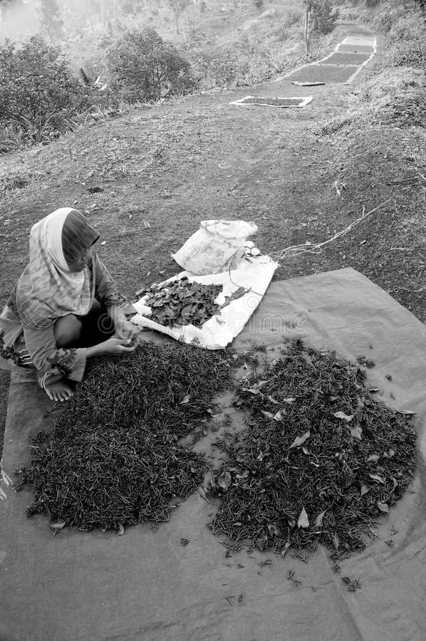 Une femme soeting les clous de girofle nouvellement moissonnés photo libre de droits