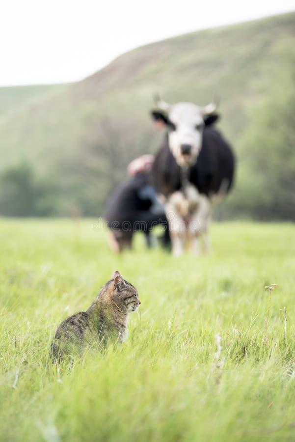 Une femme trait une vache noire et blanche avec ses mains dans un domaine et un chat repéré gris attend le lait images stock