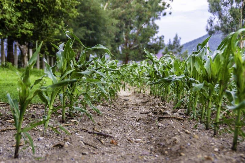Une ferme de maïs dans Jalisco images stock