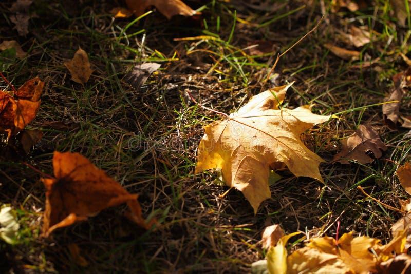 Une feuille d'érable d'automne tombant à la terre et a été frappée par un rayon de soleil, de couleur et de lumière d'automne Con photos stock