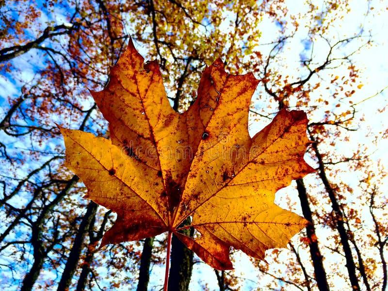 Une feuille d'érable d'or contre les arbres et le ciel bleu images stock