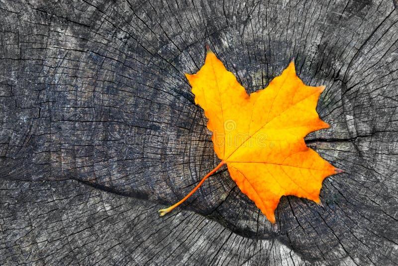 Une feuille d'érable jaune de chute d'automne sur le backgrou rustique en bois gris photographie stock libre de droits
