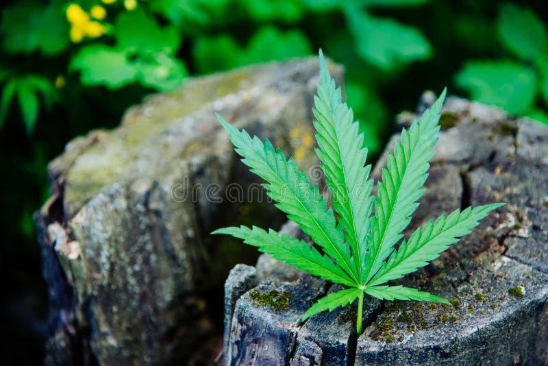 Une feuille fraîche de cannabis se trouve sur le tronçon photographie stock libre de droits