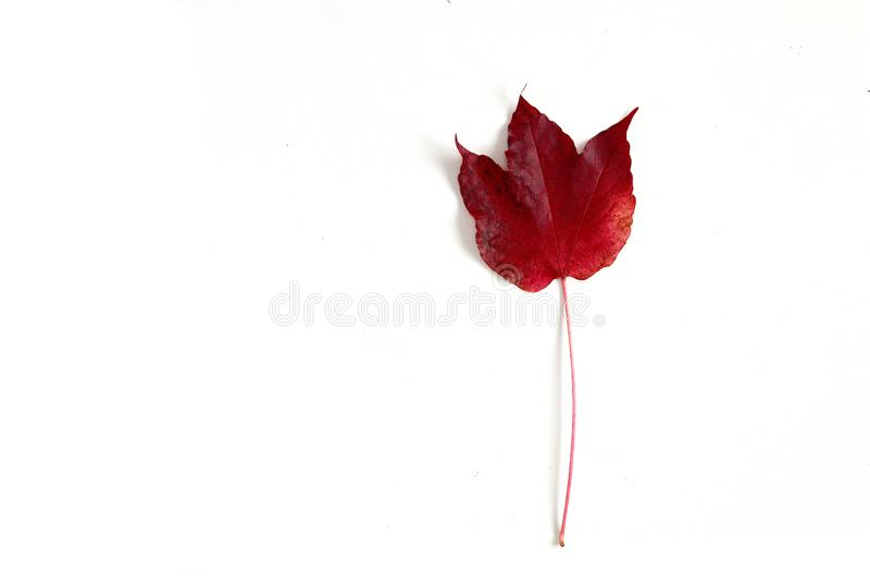 Une feuille rouge d'automne comme une tulipe sur le fond blanc, vue supérieure, fin  images stock