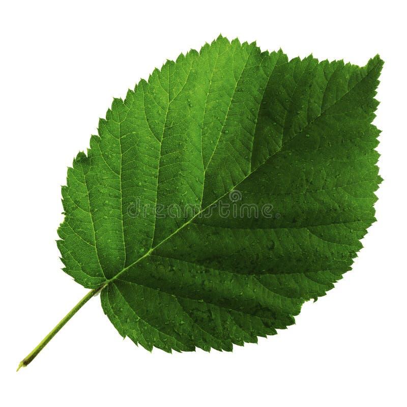 Une feuille verte de m?re d'isolement sur le fond blanc, c?t? sup?rieur de feuille images stock