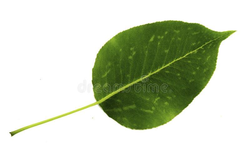 Une feuille verte de poire d'isolement sur le fond blanc, côté inférieur de feuille photos stock