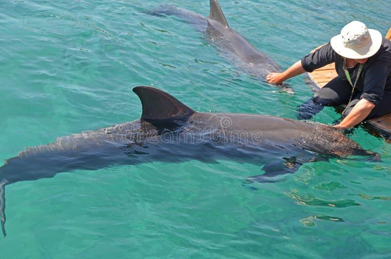 Une fille dans un chapeau frottant les dauphins qui flottent en mer Conservation et protection des animaux en récif de dauphin, I image stock