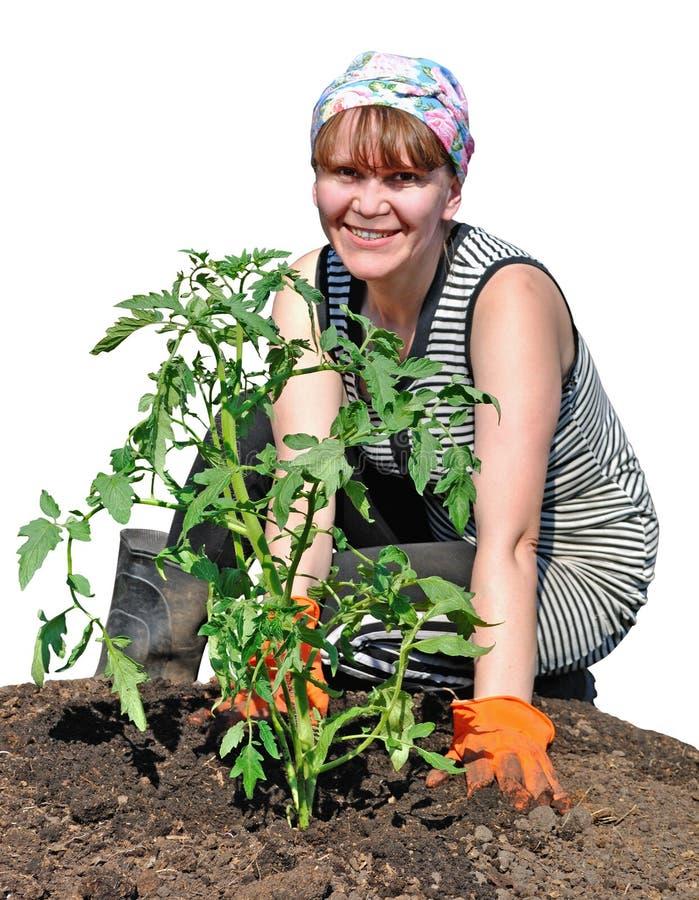 Une fille de paysan plante la tomate photos stock
