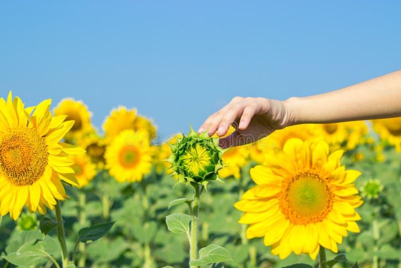 Une fille touche un tournesol dans un domaine des tournesols mûrs Tournesol chez des paumes de la femme images libres de droits