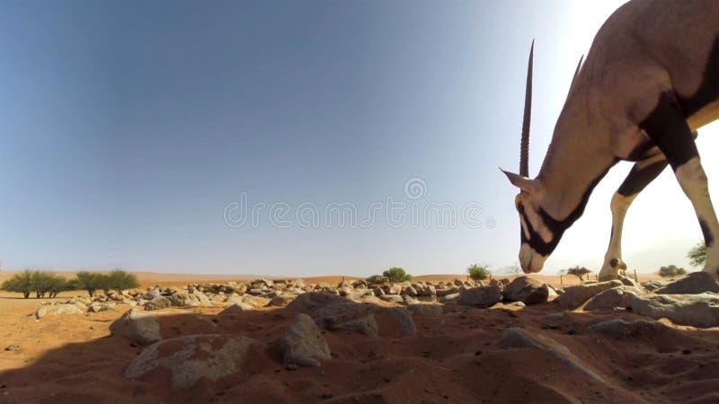Une fin adulte de gazelle d'oryx de Gemsbok sur le fond de désert, parc national franchissant les frontières de Kgalagadi, Afriqu image libre de droits