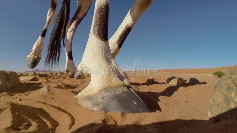 Une fin adulte de gazelle d'oryx de Gemsbok vers le haut des jambes, parc national franchissant les frontières de Kgalagadi, Afri photographie stock libre de droits