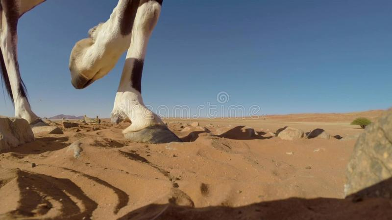 Une fin adulte de gazelle d'oryx de Gemsbok vers le haut des jambes, parc national franchissant les frontières de Kgalagadi, Afri photo stock