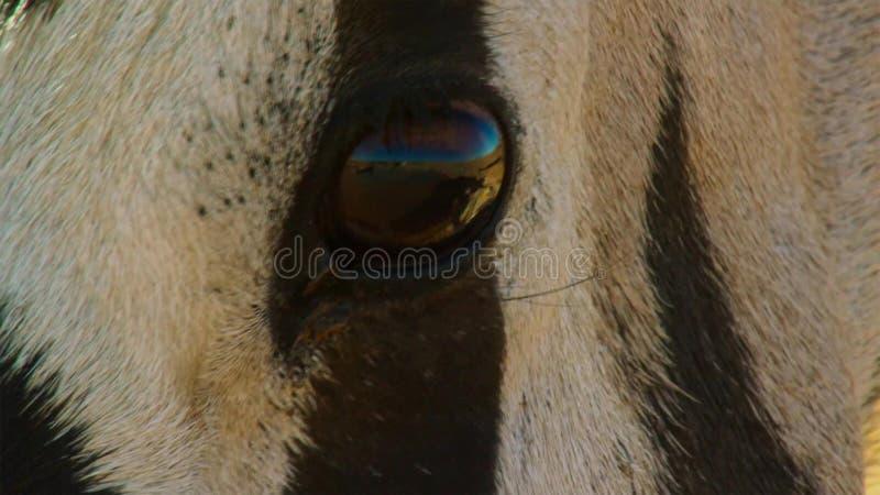 Une fin adulte de gazelle d'oryx de Gemsbok vers le haut de visage, parc national franchissant les frontières de Kgalagadi, Afriq images stock