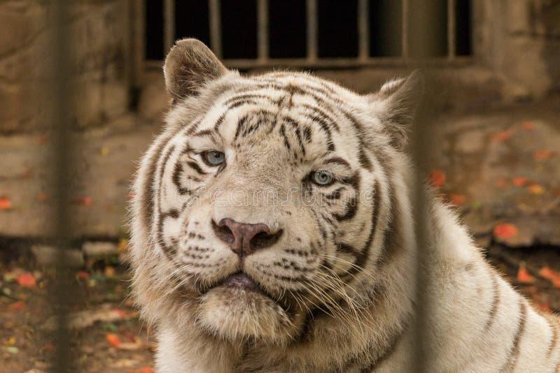 Une fin blanche rare de tigre de Bengale vers le haut de portrait dans le zoo photographie stock libre de droits