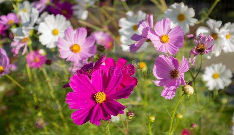 Une fin d'un champ des fleurs sauvages en été, un bon nombre de roses, pourpre et blanc photo libre de droits