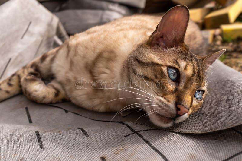 Une fin d'un chat du Bengale se trouvant au sol regardant à partir de la caméra avec de beaux yeux photo stock