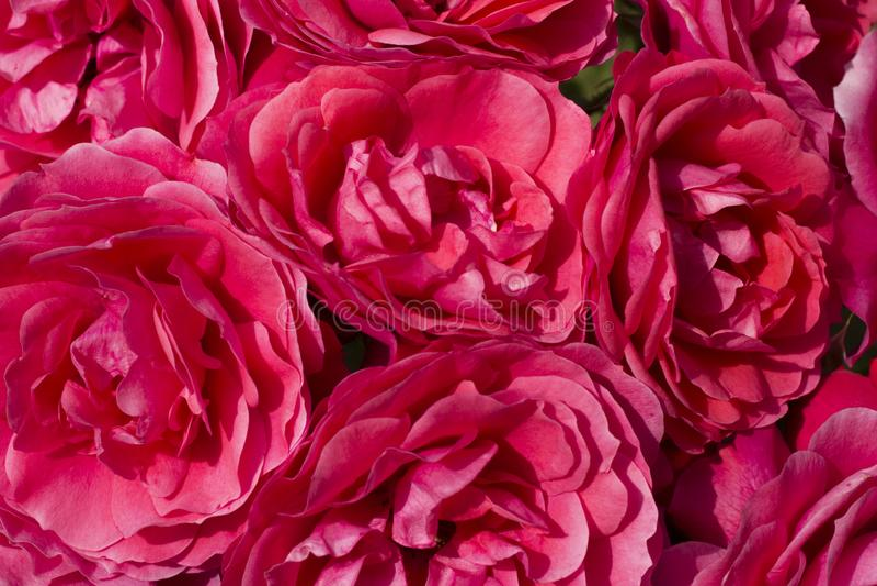 Une fin d'un groupe de llarge de camélias rouges images stock