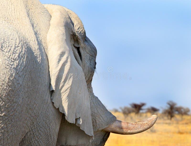 Une fin d'un profil latéral d'une défense d'éléphant image libre de droits