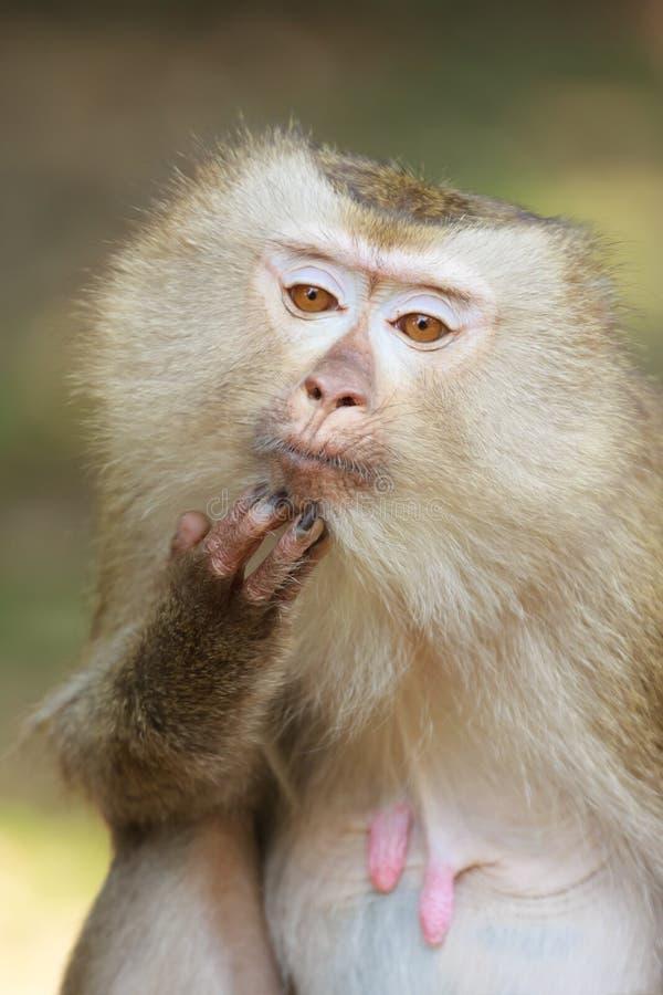 Une fin de Macaque Porc-coupé la queue (nemestrina de Macaca) photo stock