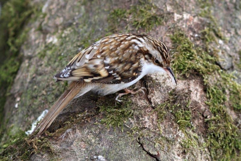 Treecreeper (familiaris de Certhia) images stock