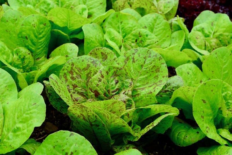 Une fin vers le haut de la photo de sativa de Lactuca de laitues développée dans un jardin ; usines colorées saines, légume-feuil images stock
